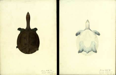 Top and underside of a softshell turtle from a river near Kakinada, 1873,