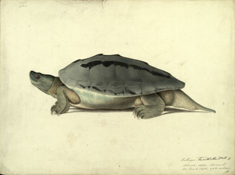 A hand-painted picture of a __, 1873, by Scottish naturalist John Anderson (St Andrews manuscript ms30413)