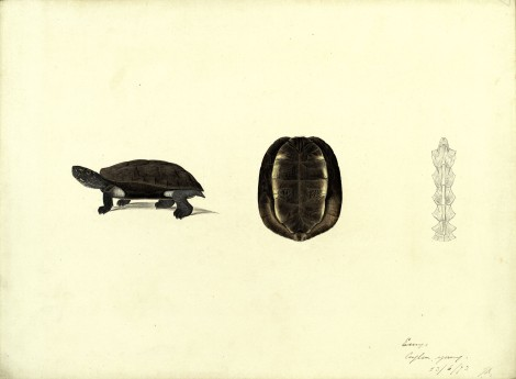 Hand-painted illustrations and pencil drawings of a member of the Emys genus, 1875, by Scottish naturalist John Anderson (St Andrews manuscript ms30413)
