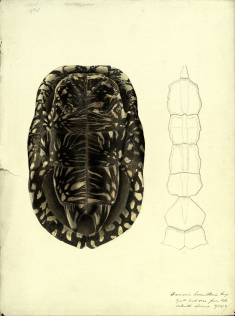 A hand-painted illustration and pencil diagram of a black pond turtle shell, 1873, by Scottish naturalist John Anderson (St Andrews manuscript ms30413)
