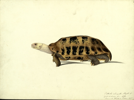 A hand-painted illustration of an Elongated tortoise, 1873. by Scottish naturalist John Anderson (St Andrews manuscript ms30413)