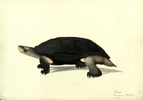 Hand-painted illustration of a member of the Emys genus, 1876, by Scottish naturalist John Anderson (St Andrews manuscript ms30413)