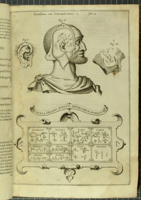An anatomical dissection of the human ear, along with an inset comparing the anatomy of the ears of (from left to right) men, cows, horses, dogs, leopard, cat, sheep, goose, rat and pig from Kircher's Musurgia Universalis (St Andrews copy r17f ML3805.K5M8)