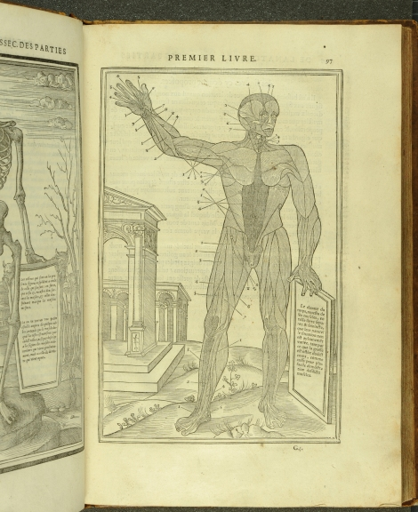 An anatomical illustration of the muscular system from Estienne's Anatomy (1546) (St Andrews copy at TypFP.B46CE)