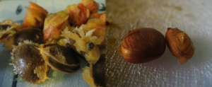 Pictured on the left are the peach and apricot stones, and on the right the kernels from inside.