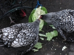 Dot and Marion enjoying some cabbage