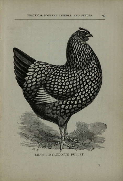 From W Cook, Poultry Breeder and Feeder, c.1900
