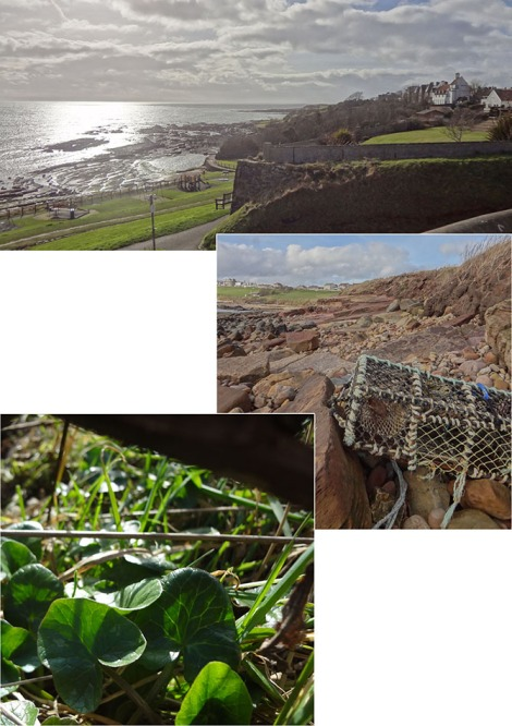 Foraging for Scurvy-grass took us to the rocky shores of the coastal path, on the east side of Crail, where we found it growing in abudance!