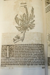 'Of Heth' from the 1568 edition of Turner's Herbal