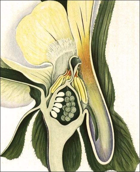 rfQK653 C5_Viola arvensis_1
