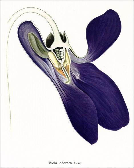 rfQK653 C5_Viola odorata_1