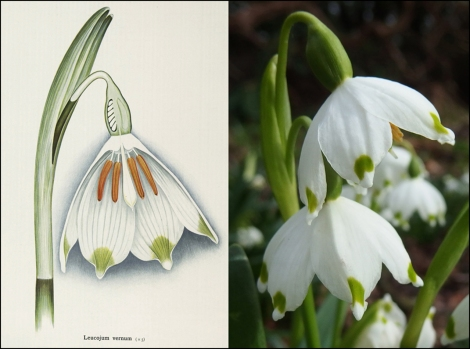 snowdrop_painted_photo_1