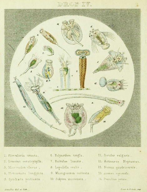 A theoretical drop of water showing 16 species of 'animalcule' designated in the class Rotatori from Drops of Water: their Marvellous and Beautiful Inhabitants Displayed by the Microscope, Catlow (1851) sQH277.C2[SR].