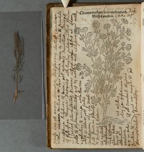 The Simson Collection copy of Leonhard Fuchs' Primi de stirpium historia co[m]mentariorum tomi (Sim QK41.F8B49) contains specimens of some of the plants pictured in the book, like this cutting of chamomile.