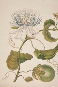 Image from Merian's Metamorphosis insectorum Surinamensium (rff QL474.M2)
